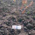 plantare copaci voluntari (8)