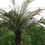 palmierii din timisoara.Still011