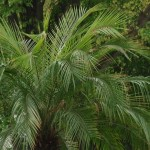 palmierii din timisoara.Still019