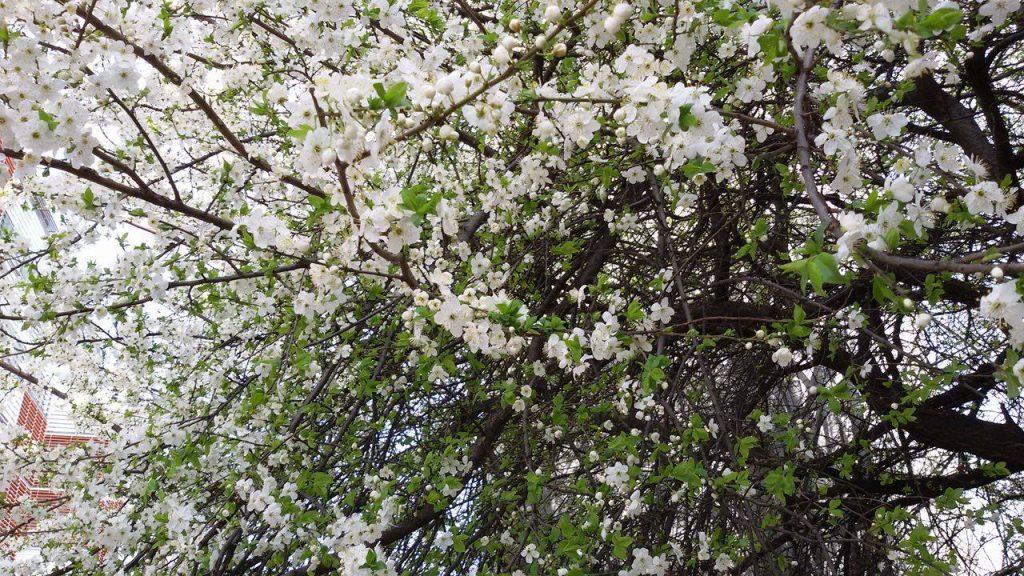 Copaci infloriti 1