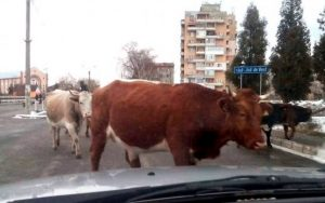 vaci oraș